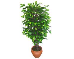Ficus Benjamin 1,50 cm   Karşıyaka 14 şubat sevgililer günü çiçek