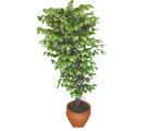Ficus özel Starlight 1,75 cm   Karşıyaka online çiçek gönderme sipariş
