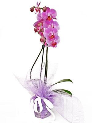 Karşıyaka 14 şubat sevgililer günü çiçek  Kaliteli ithal saksida orkide