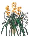 Karşıyaka internetten çiçek satışı  Orchiede ithal büyük boy saksi