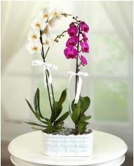 1 dal beyaz 1 dal mor yerli orkide saksıda  Karşıyaka çiçek online çiçek siparişi