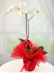 1 dal beyaz orkide saksı çiçeği  Karşıyaka güvenli kaliteli hızlı çiçek