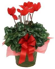 Sılkamen saksı çiçeği  Karşıyaka güvenli kaliteli hızlı çiçek