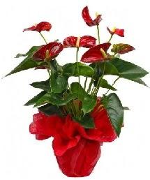 Antorium saksı çiçeği  Karşıyaka hediye çiçek yolla