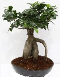 5 yaşında japon ağacı bonsai bitkisi  Karşıyaka çiçek siparişi sitesi
