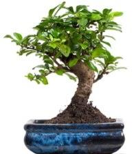 5 yaşında japon ağacı bonsai bitkisi  Karşıyaka çiçekçi telefonları