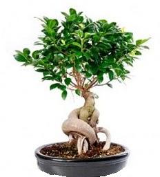 Bonsai Japon ağacı saksı bitkisi  Karşıyaka uluslararası çiçek gönderme