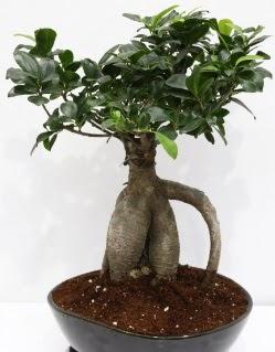 Japon ağacı bonsai saksı bitkisi  Karşıyaka çiçek gönderme sitemiz güvenlidir