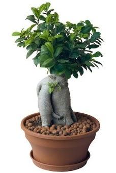 Japon ağacı bonsai saksı bitkisi  Karşıyaka çiçek yolla