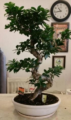 100 cm yüksekliğinde dev bonsai japon ağacı  Karşıyaka çiçek yolla , çiçek gönder , çiçekçi