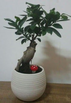 Bonsai japon ağacı saksı çiçeği  Karşıyaka İnternetten çiçek siparişi