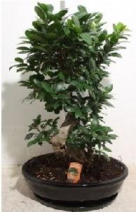 75 CM Ginseng bonsai Japon ağacı  Karşıyaka ucuz çiçek gönder