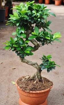 Orta boy bonsai saksı bitkisi  Karşıyaka çiçekçiler