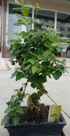 Bonsai japon ağacı saksı bitkisi  Karşıyaka internetten çiçek siparişi
