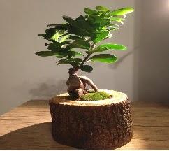 Doğal kütükte Bonsai japon ağacı satışı  Karşıyaka çiçek siparişi sitesi