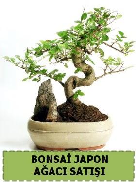Bonsai japon  ağacı satışı Minyatür İthal  Karşıyaka çiçekçiler