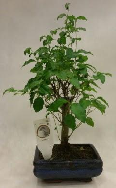 Minyatür bonsai japon ağacı satışı  Karşıyaka çiçek gönderme