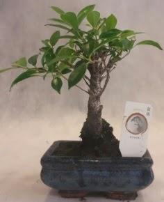 Bonsai ağacı japon ağaç bitkisi  Karşıyaka çiçek gönderme sitemiz güvenlidir