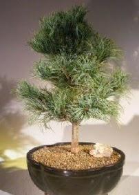 Çam ağacı bonsai bitkisi satışı  Karşıyaka çiçek , çiçekçi , çiçekçilik