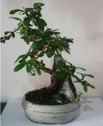 S şeklinde ithal bonsai ağacı  Karşıyaka çiçek gönderme sitemiz güvenlidir