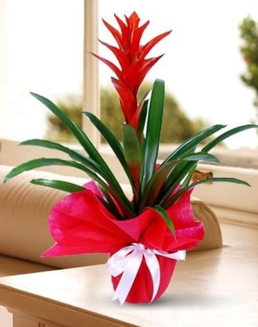 Guzmanya Saksı Çiçeği  Karşıyaka çiçek gönderme sitemiz güvenlidir