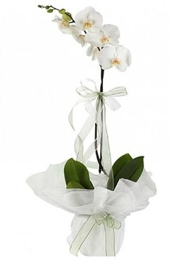 Tekli Beyaz Orkide  Karşıyaka ucuz çiçek gönder