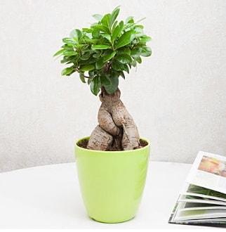 Ficus Ginseng Bonsai  Karşıyaka uluslararası çiçek gönderme
