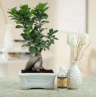 Ginseng ficus bonsai  Karşıyaka internetten çiçek satışı