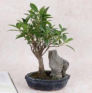 Japon ağacı Evergreen Ficus Bonsai  Karşıyaka İnternetten çiçek siparişi