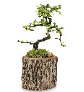 Doğal kütükte S bonsai ağacı  Karşıyaka çiçekçi telefonları