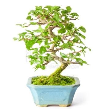 S zerkova bonsai kısa süreliğine  Karşıyaka çiçek yolla , çiçek gönder , çiçekçi