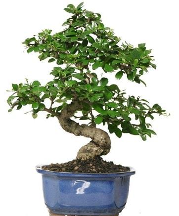 21 ile 25 cm arası özel S bonsai japon ağacı  Karşıyaka çiçek gönderme