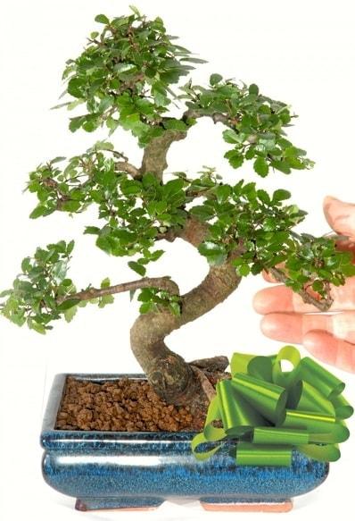 Yaklaşık 25 cm boyutlarında S bonsai  Karşıyaka çiçekçi mağazası
