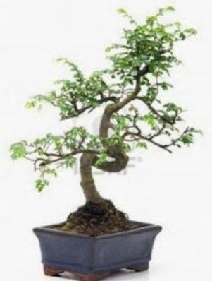 S gövde bonsai minyatür ağaç japon ağacı  Karşıyaka çiçekçi telefonları