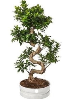 90 cm ile 100 cm civarı S peyzaj bonsai  Karşıyaka İnternetten çiçek siparişi