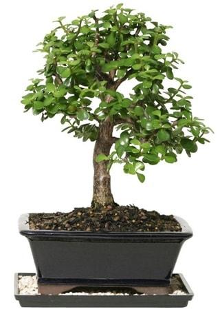 15 cm civarı Zerkova bonsai bitkisi  Karşıyaka çiçekçi mağazası