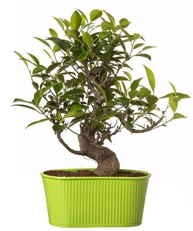 Ficus S gövdeli muhteşem bonsai  Karşıyaka çiçekçi mağazası