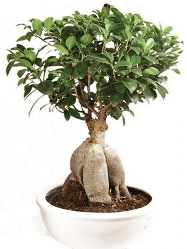 Ginseng bonsai japon ağacı ficus ginseng  Karşıyaka çiçek yolla , çiçek gönder , çiçekçi